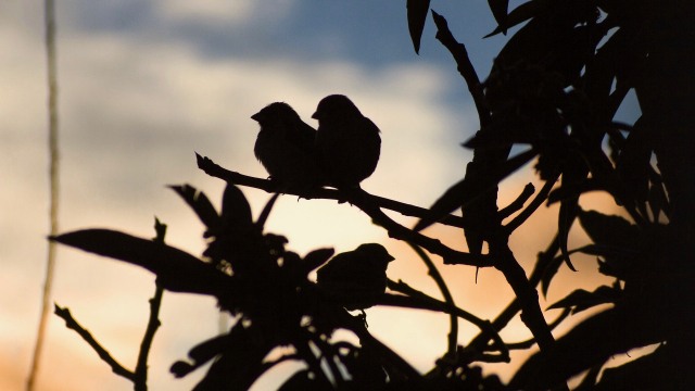 birds_tree_silhouette