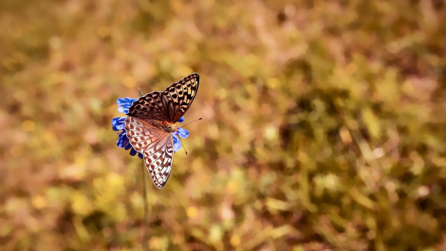 butterfly_flying_field