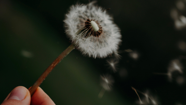 dandelion_breath_unsplash