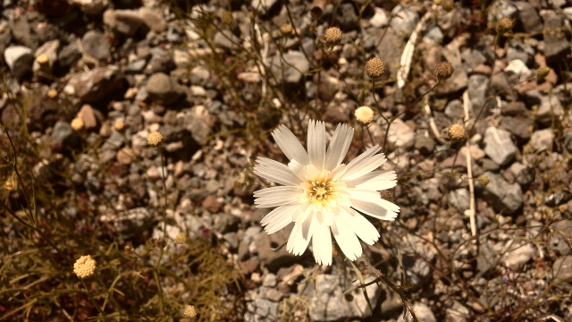 desert_flower_white