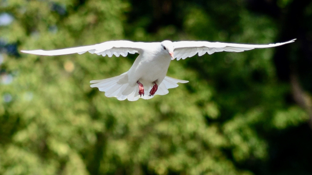 dove_outstretched_wings