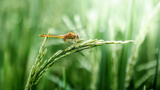 dragonfly_golden_wheat