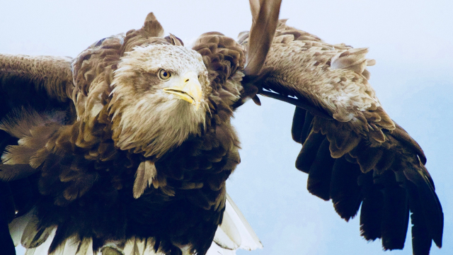 eagle_flight_flying_wings