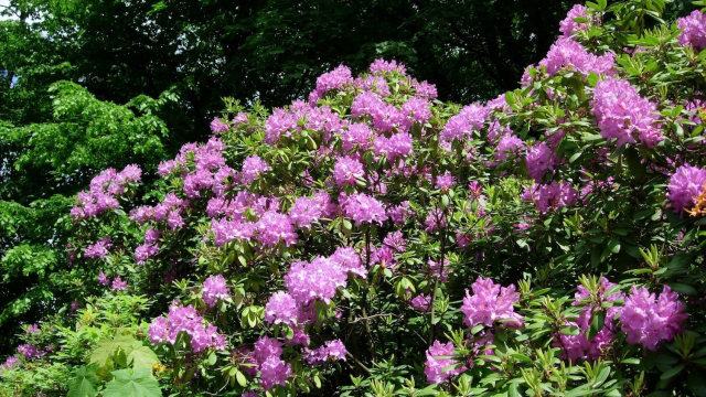 rhododendron_bush_trees
